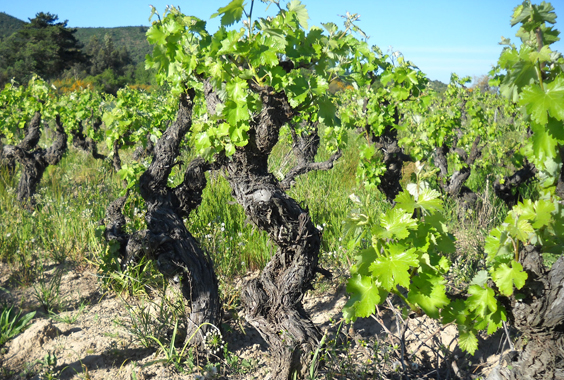 Old Vine Carignan