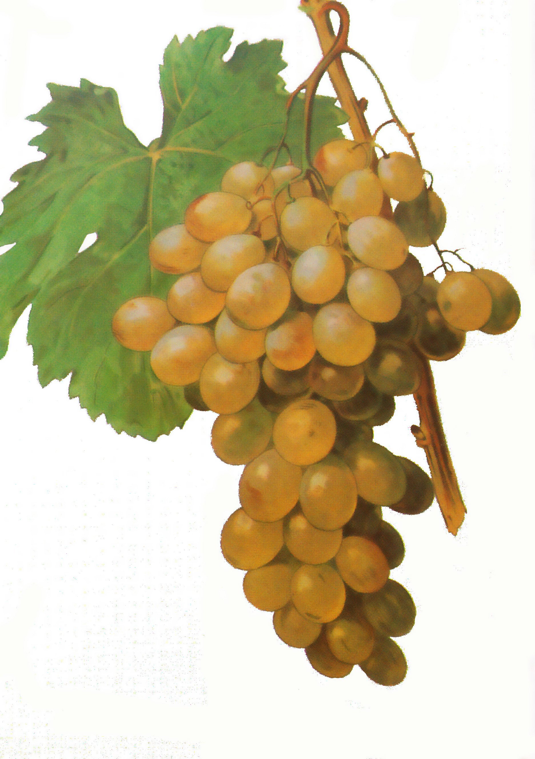 The Zibibbo Grape