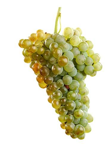 The Xarello (Viura) Grape