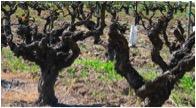 Montafi Vineyard Old Vine Zin