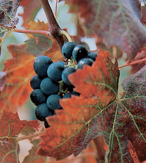 The Carignan Grape