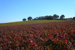 I Giusti & Zanza Vineyard in the Costa Toscana