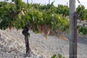 The Albariza Soils of Valdespino's Macharnudo Vineyard