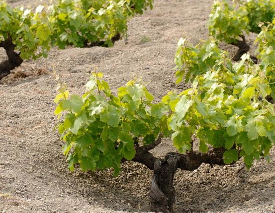 An Alberello Trained Zibibbo Vine on Pantelleria