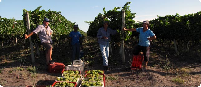 Harvest at Bodega Marichal