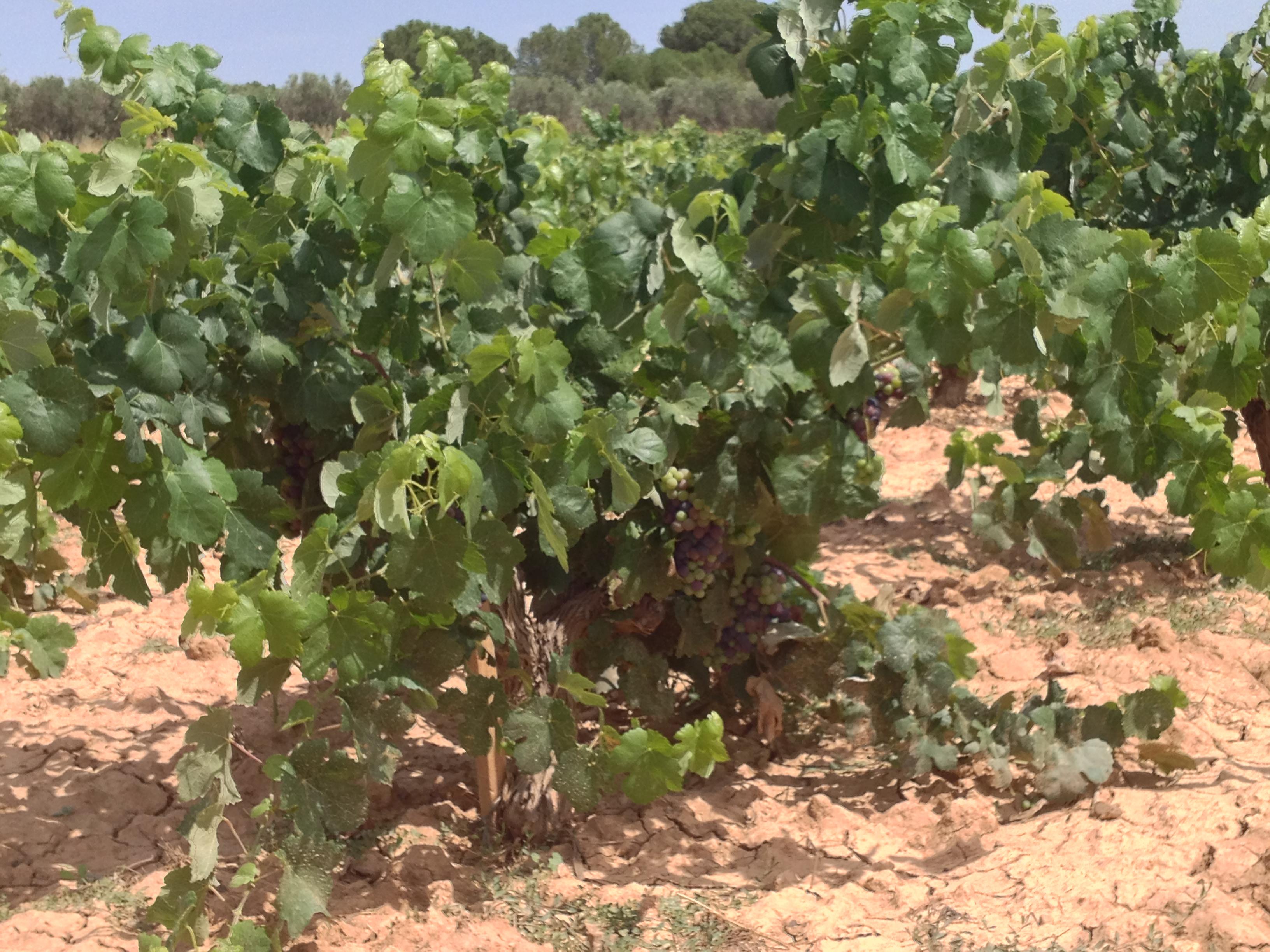 Old Vine Bobal in Utiel-Requena