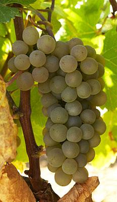 The Verdejo Grape