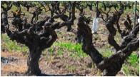 Montafi Vineyard Old Vine Zin