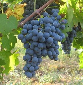 ART Carmenere Grape