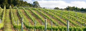 La Colombera's Il Montino Vineyard