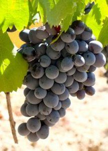 art-cinsault-grape