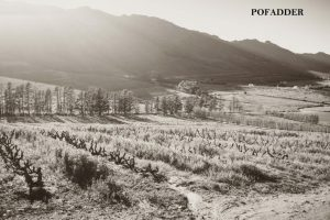 Pofadder Old Vine Cinsault