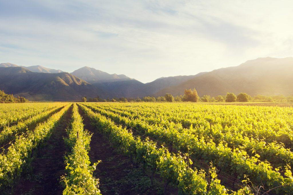 The Vineyard in Cholquí